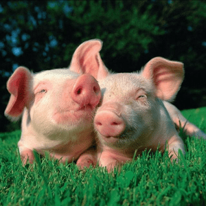 Rádio schlagerschweinchen